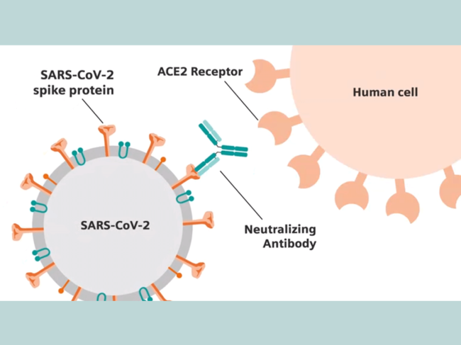 SARS-CoV-2, neutralizing antibody diagram