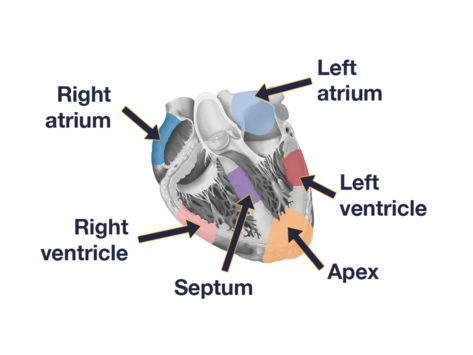 Labeled heart diagram