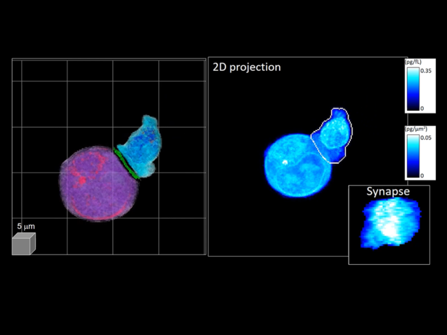 Cell-to-cell interaction as viewed through holotomography technology
