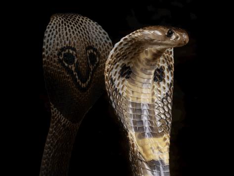 Indian-cobra-science-1-6
