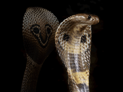 Indian cobra science 1 6