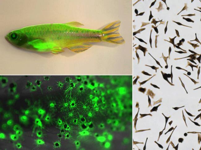 Zebrafish and melanocytes