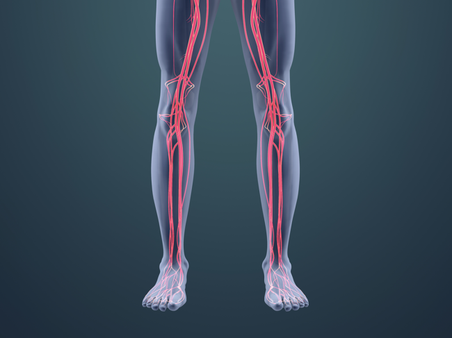 Illustration of vascular system in the legs
