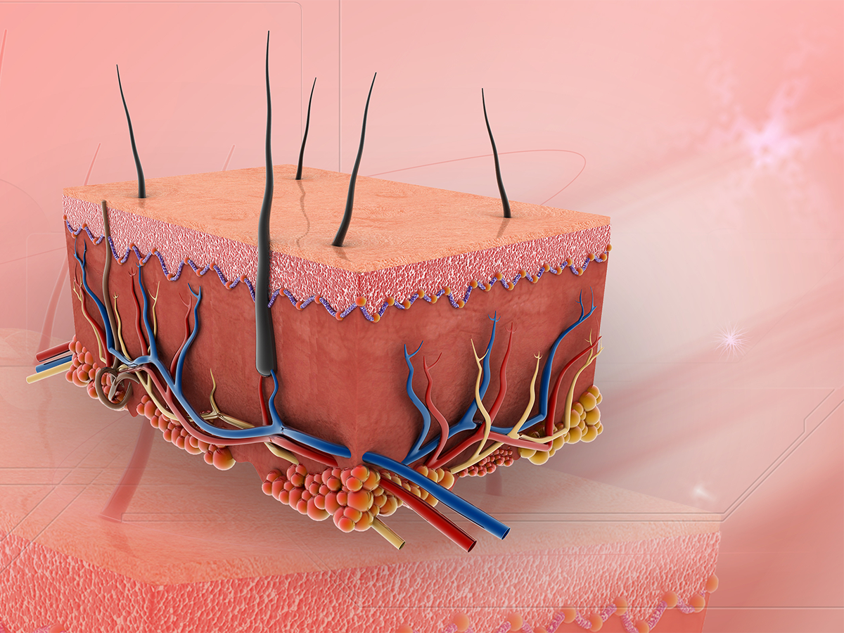 Skin, tissue layer illustration