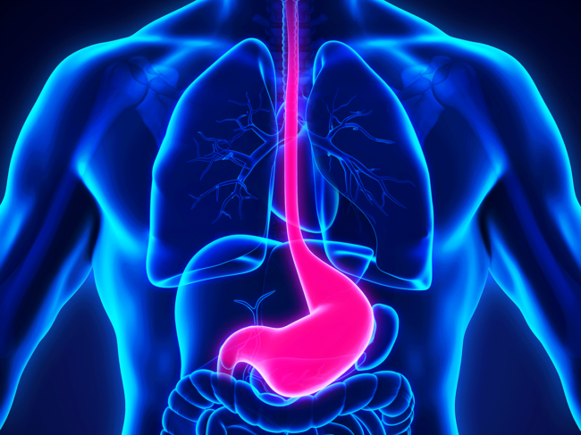 Stomach and esophagus